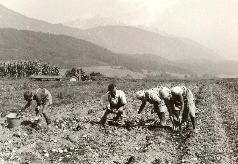 Kartoffelernte in den 1950er Jahren